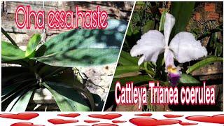 VEJA COMO ESTÁ A HASTE DESSA PHALAENOPSIS Orquídea com flores lindas cattleya