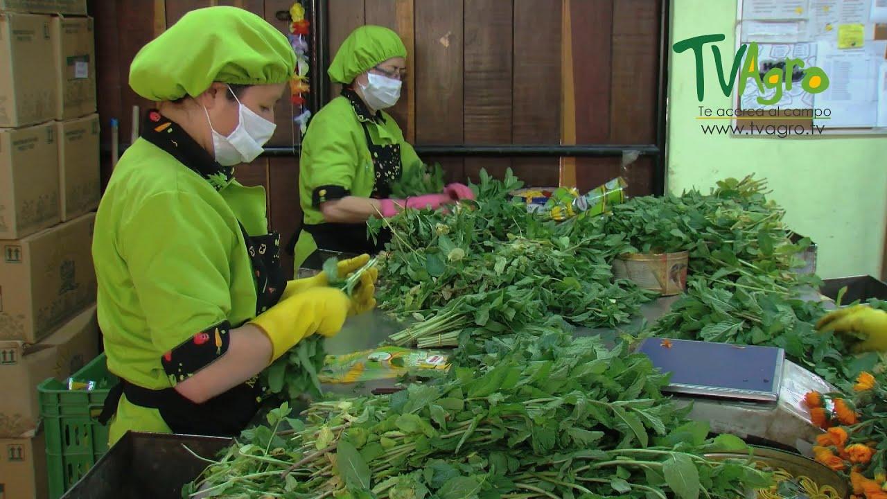 Producci n y comercializaci n de hierbas arom ticas for Asociacion de plantas aromaticas