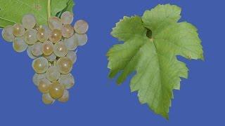 Виноград Кристалл, винный неукрывной сорт(Это видео о неприхотливом техническом сорте винограда Кристалл раннего срока созревания и белой ягодой..., 2015-01-24T16:05:42.000Z)