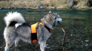 Alaskan Malamute アラスカンマラミュートの銀 多摩川上流で遊ぶ銀!