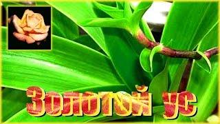А Вы знаете о целебных свойствах этого растения? Золотой ус - каллезия душистая. Комнатные растения.