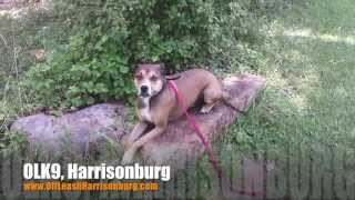 "4 Year Old Boxer/beagle Mix ""maverick"" Before/after Video 