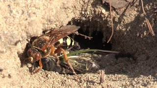Video Cicada Killer with Cicada download MP3, 3GP, MP4, WEBM, AVI, FLV November 2017