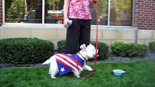 Westie Parade In Wayzata, Mn Sept.11, 2011