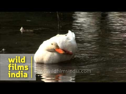 Domestic duck swims in a pond
