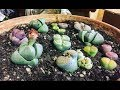 Taking care of lithops