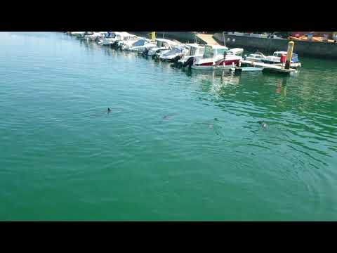 Dolphins visiting Brixham Harbour August Bank Holiday 2017