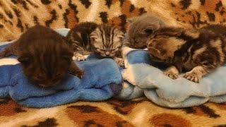 Scottish kitties (Шотландские котята) 10.03.2017
