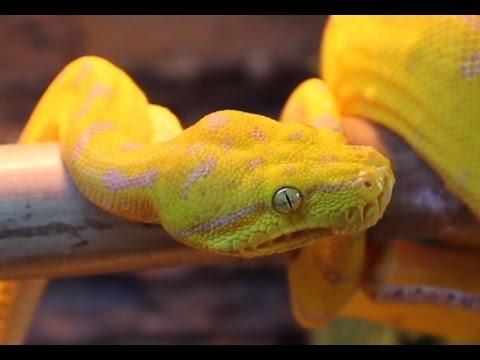 Yellow tree python