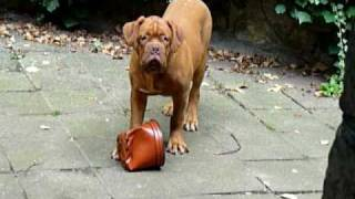 Koffey Von Canyaya Spielt! :o) Son Of Royalred Tito Emberez  Dogue De Bordeaux