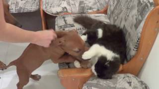 Родезийский риджбек Makao Line Klio Kallisto | WellDog | Rhodesian Ridgeback Puppy
