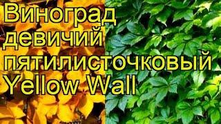 Виноград девичий пятилисточковый Yellow Wall. Краткий обзор, описание характеристик