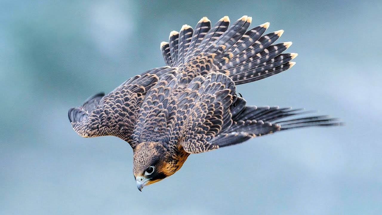 Download PEREGRINE FALCON - a dive fighter! The FASTEST animal on the planet!