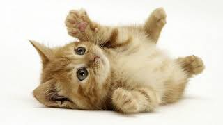 Как приучить котёнка к лотку в квартире, если он все равно ходит везде в туалет?