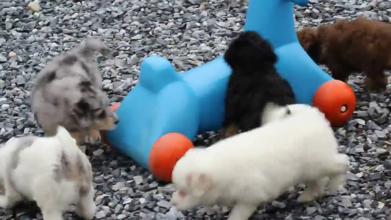 Miniature Aussiedoodle Puppies For Sale Youtube
