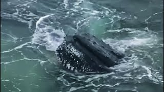 Humpback whales feeding on krill | Deep into the Wild | BBC