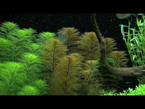 Перистолистник Рорайма (Myriophyllum sp. Roraima)