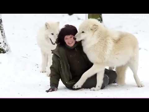 волки картинки белые