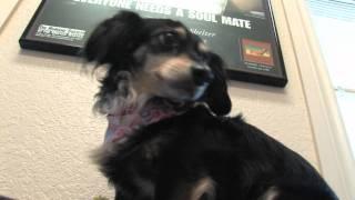 Fuzzy Friends - Yippy, Chihuahua & Dachshund Mix