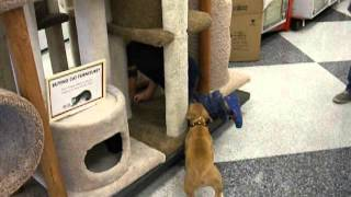 08.16.13 Boldog Nell Pit Bull Puppy In Training (obedience)