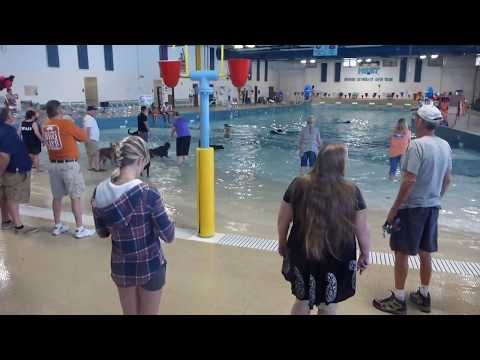 Dog Day Swim at the Pool, Bichon Frise Dogs