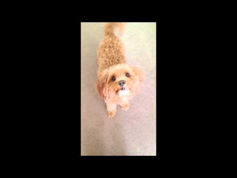 Dog singing to Jessie J, Ariana Grande & Nicki Minaj 'Bang Bang' chorus