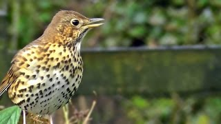 Song Thrush Bird Singing - Grive Musicienne Chant - Beautiful Birds Song and Sounds