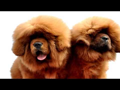 Tibetan Mastiff Deworming