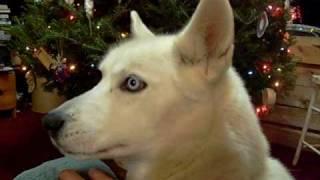 White Siberian Husky Blue Eyes Black Nose Named (sadi Girl)