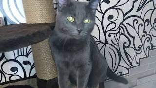 Русская голубая кошка/Шанель/Моя красавица
