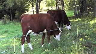 Vaches abondances dans la Grande Chartreuse .MOD