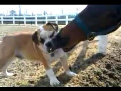 English Bulldog Puppy Bit By Horse Bites Dog Youtube