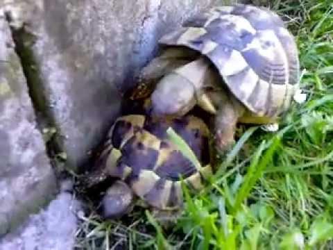 Il rumoroso accoppiamento di due tartarughe youtube for Accoppiamento tartarughe
