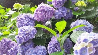 Beautiful Hydrangeas, japanese Ajisai garden at Hondoji temple outs...
