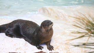 LIVE Otter Oasis River Otter Webcam