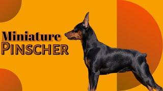 All About Miniature Pinscher   Miniature Pinscher   Dogs Junction.