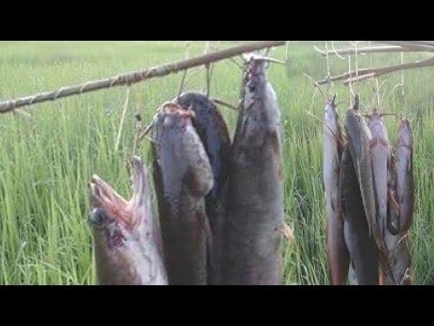 Top AMAZING Net Fishing - Net Fishing at Kompong Spue Province - Cambodia Traditional Fishing #5