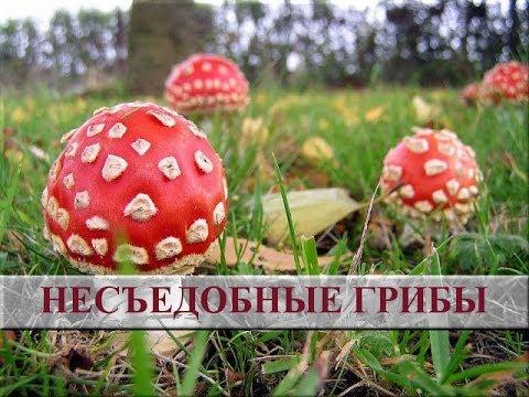 съедобные грибы фото с названием