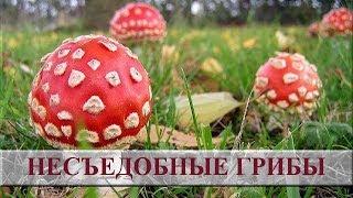 Несъедобные грибы фото и название. Ядовитые грибы(, 2014-04-21T12:06:00.000Z)
