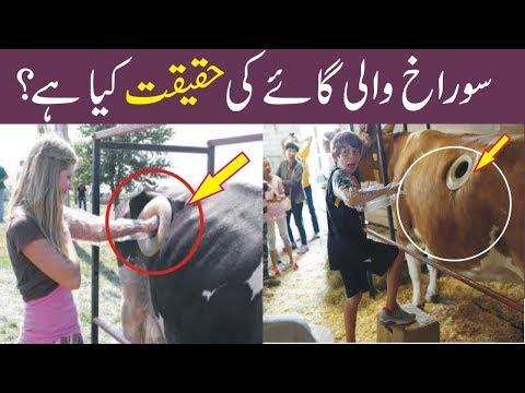 Reality Of Fistulated Cow // Surakh Wali Cow Ki Haqeeqat // Adeel Tv