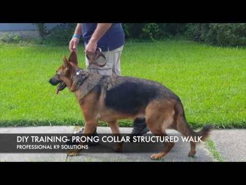 DIY Dog Training: Structured Walk w/ prong collar