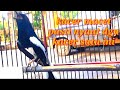 Burung Kacer Gacor Ngeplong Sangat Cocok Buat Dongkrak Emosi Kacer Malas Bunyi Jadi Gacor  Mp3 - Mp4 Download