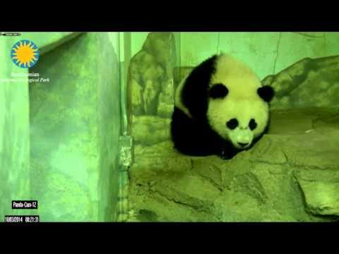 Bao Bao hears the keeper calling.     Oct 3, 2014        National Zoo