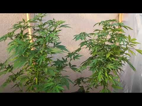 Growing Marijuana Cannabis Port of Los Angeles  s1 ep1