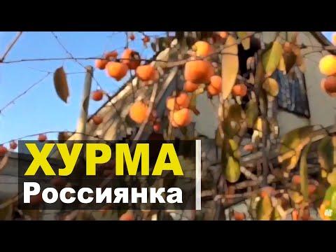 Хурма в моём саду. Сорт Россиянка
