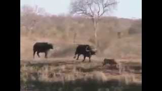 Power of Unity - fight between pride of lions and  herd of buffalos Thumbnail