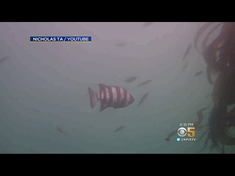 Tsunami Carries Exotic Japanese Fish Across Pacific To Monterey