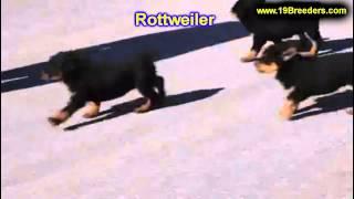 Rottweiler, Welpen, Für, Verkauf, In, Nordrhein Westfalen, Deutschland, Bayern, Hessen