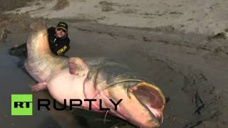 Italy: Is this the BIGGEST catfish ever caught by man?