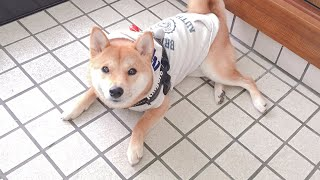 【子守犬】おちびの初散歩はりんご郎と一緒に行ってきたよ!
